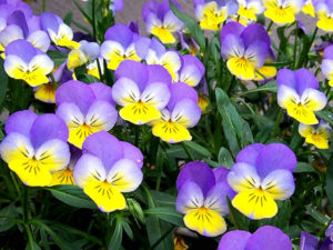 Viola Tricolor - The difference between Pansies and Violas - Complete Landscaping Service