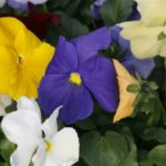 Crown Series Pansy - Complete Landscaping Service