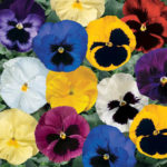 Pansy Delta Series - Complete Landscaping Service
