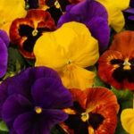 Pansy Majestic Giants - Complete Landscaping Service