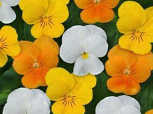 The difference between Pansies and Violas - Complete Landscaping Service