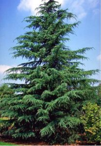 Showy Winter Plants-Deodar Cedar-Complete Landscaping Service