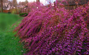 Showy Winter Plants-Beautyberry-Complete Landscaping Service