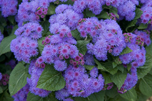 Ageratum - Annuals at Complete Landscaping Services