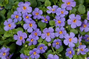 Bacopa - - Annual Flower Planting for commercial property in MD, DC, VA - Complete Landscaping Service