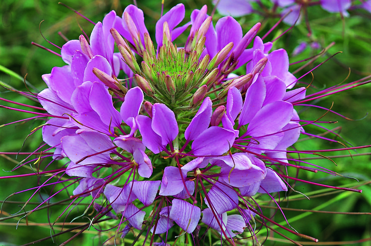 Cleome - Annuals - Complete Landscaping Service