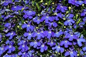 Lobelia erinus - Seasonal Flower Plantings - Complete Landscaping Service