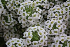 Alyssum-Annuals - Complete Landscaping Service