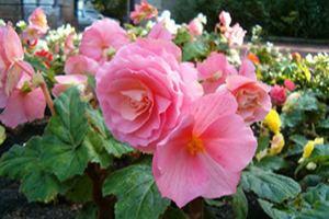 begonia - annuals Complete Landscaping Service