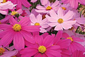 cosmos - Annual Flower Planting for commercial property in MD, DC, VA - Complete Landscaping Service