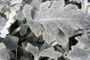 dusty miller - annuals - Complete Landscaping Service