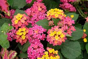 Lantana - Seasonal Flower Plantings - Complete Landscaping Service