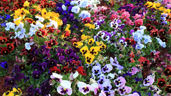 Pansies - Complete Landscaping Service