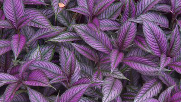 persian shield - Complete Landscaping Service