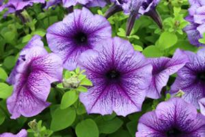Petunia - Seasonal Flower Plantings - Complete Landscaping Service