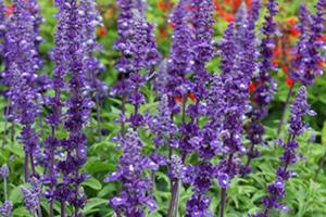 Salvia - Seasonal Flower Plantings - Complete Landscaping Service