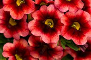 Superbells - Seasonal Flower Plantings - Complete Landscaping Service