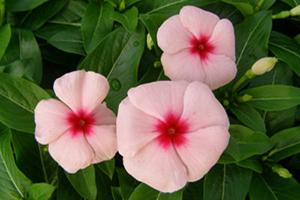Vinca - Seasonal Flower Plantings - Complete Landscaping Service