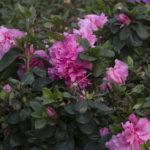 best spring flowering shrubs for commercial properties   complete landscaping service - md, dc, va