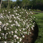 best flowering shrubs for commercial properties   complete landscaping service - md, dc, va
