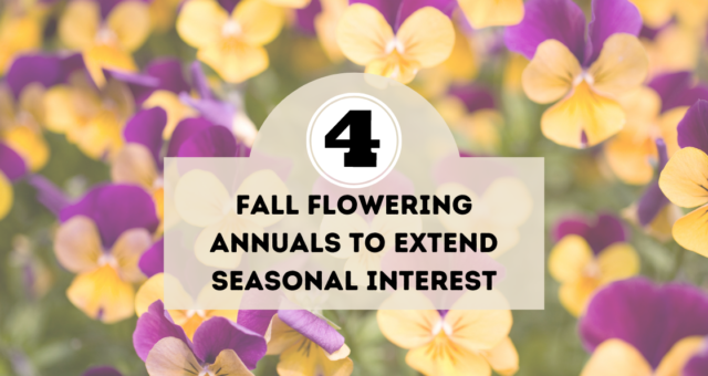 4 Fall Flowering Annuals to Extend Seasonal Interest