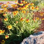 Blanket Flower - Complete Landscaping Service MD, DC, VA