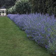 Bluebeard - Complete Landscaping Service MD, DC, VA