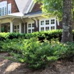 Distylium - Complete Landscaping Service MD, DC, VA