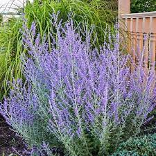 Russian Sage - Complete Landscaping Service MD, DC, VA
