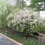 Burkwood Viburnum - Complete Landscaping Service MD, DC, VA