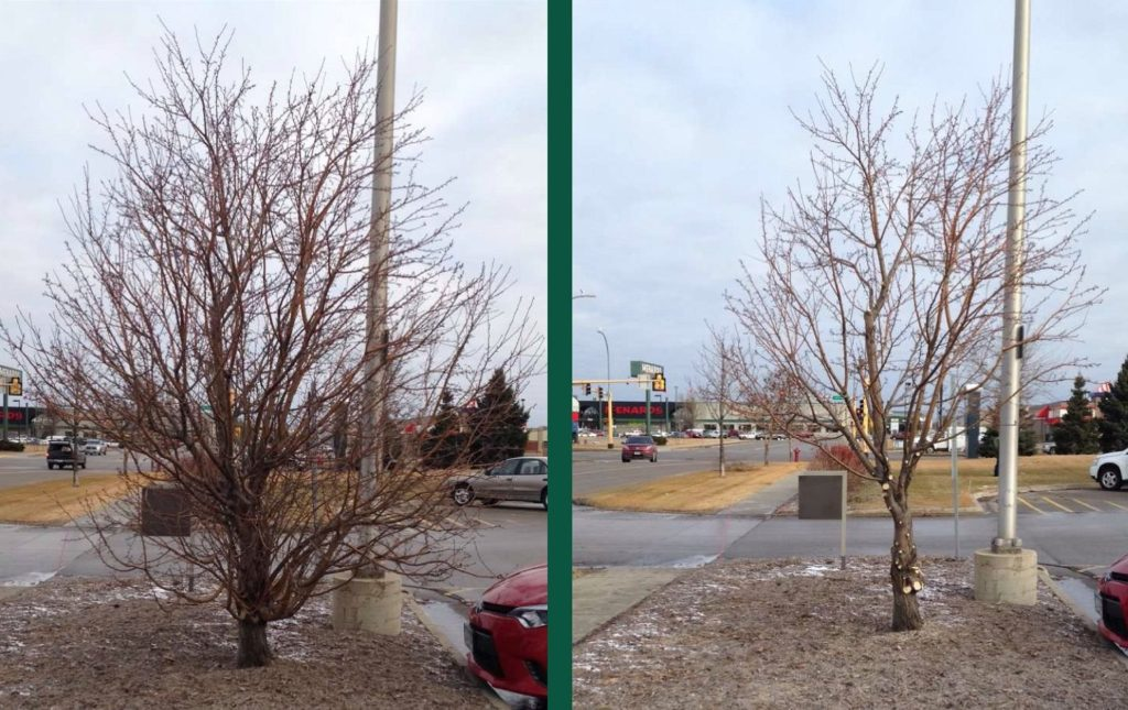 Before and After Winter Pruning Complete Landscaping Service