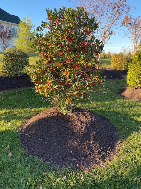 Over mulched tree with mulch volcano and high mulch mound