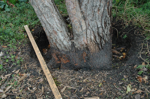 Trunk damage to a tree exposed when excess mulch is removed.