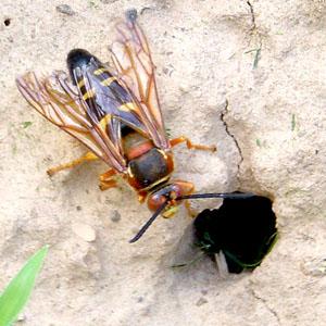 Cicada Predator
