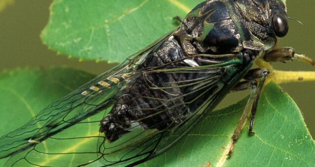 Cicadas Are Back.  Are You Prepared for Brood X?